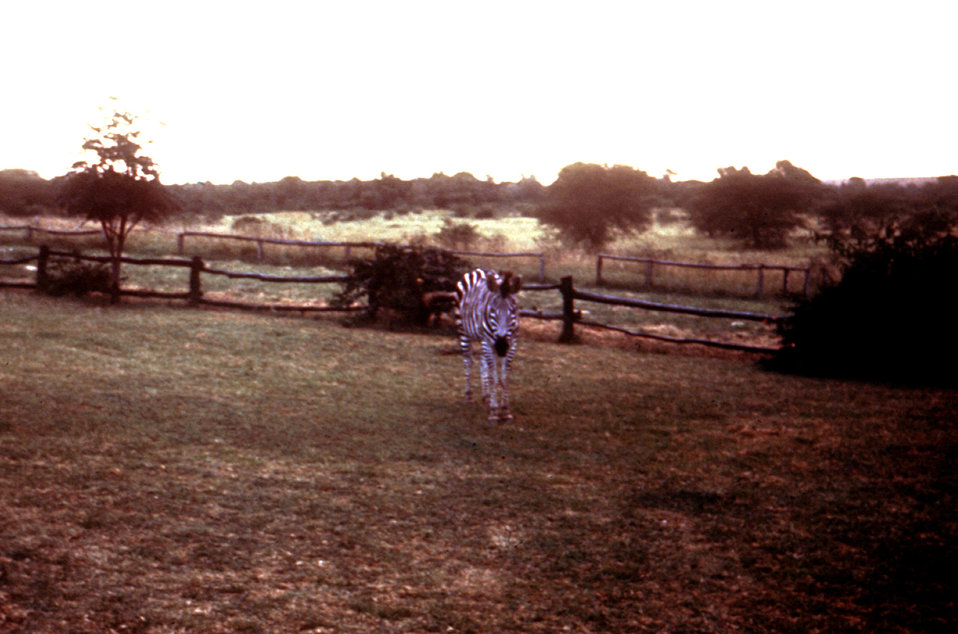 This zebra was photographed in a Zimbabwe game park, was taken by 2 travelers days before exhibiting signs of Marburg disease.