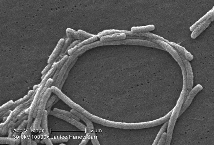 Under a high magnification of 10000X, this scanning electron micrograph (SEM) depicted a grouping of Gram-negative Legionella pneumophila ba