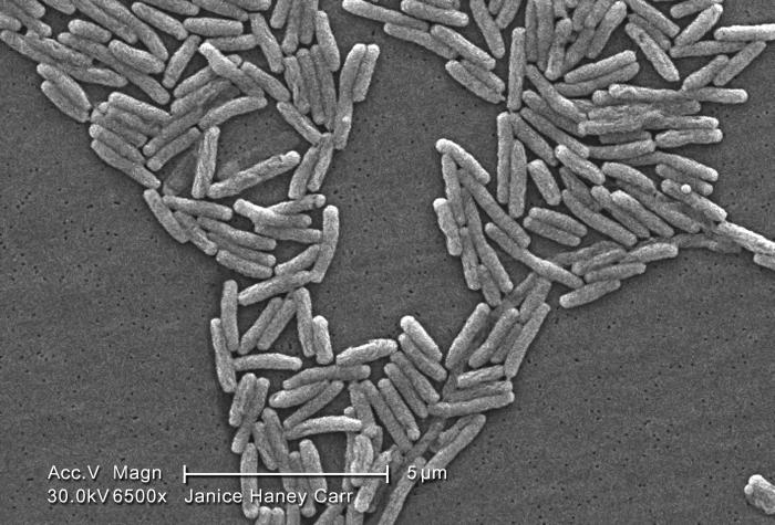 Under a moderately-high magnification of 6500X, this scanning electron micrograph (SEM) depicted a large number of Gram-negative Legionella