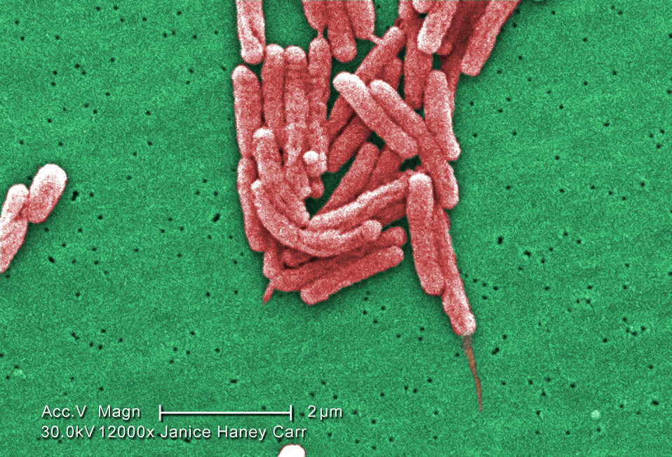 Under a high magnification of 12000X, this colorized scanning electron micrograph (SEM) depicted a number of Gram-negative Legionella pneumo