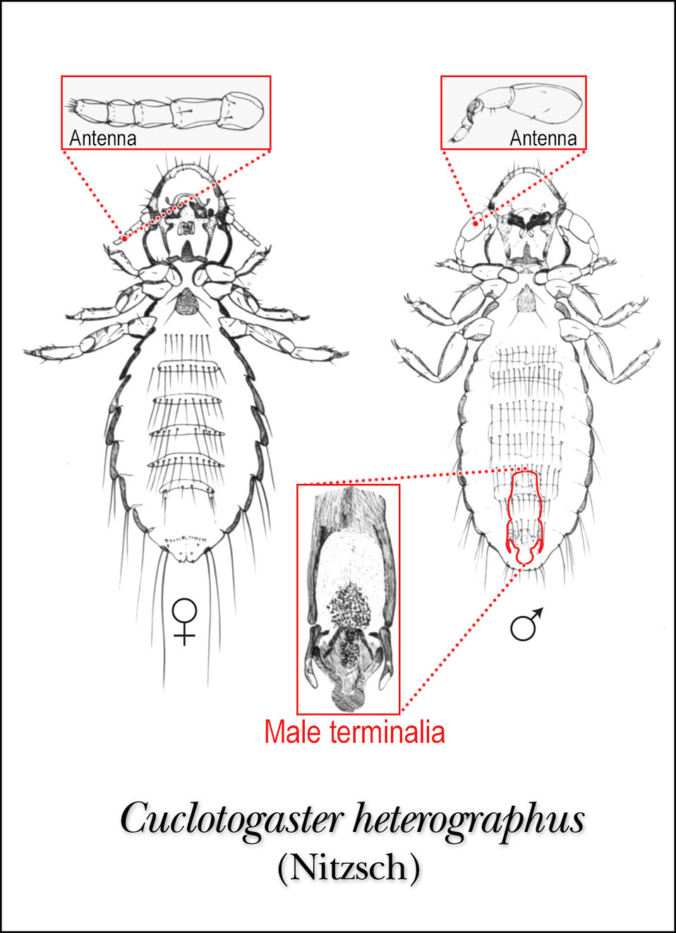 This illustration of female and male lice, Cuclotogaster heterographus shows the ventral aspect of this species (Nitzsh).