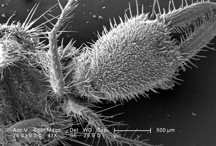 Under a low magnification of only 41X, this scanning electron micrograph (SEM) revealed the ultrastructural features found on the ventral ex