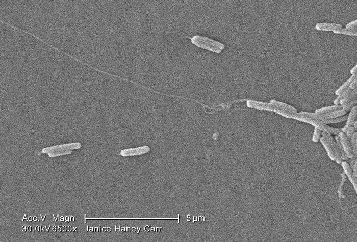 Under a very moderately-high magnification of 6500X, this scanning electron micrograph (SEM) depicted a number of Gram-negative Legionella p