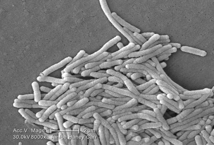 Under a moderately-high magnification of 8000X, this scanning electron micrograph (SEM) depicted a large grouping of Gram-negative Legionell