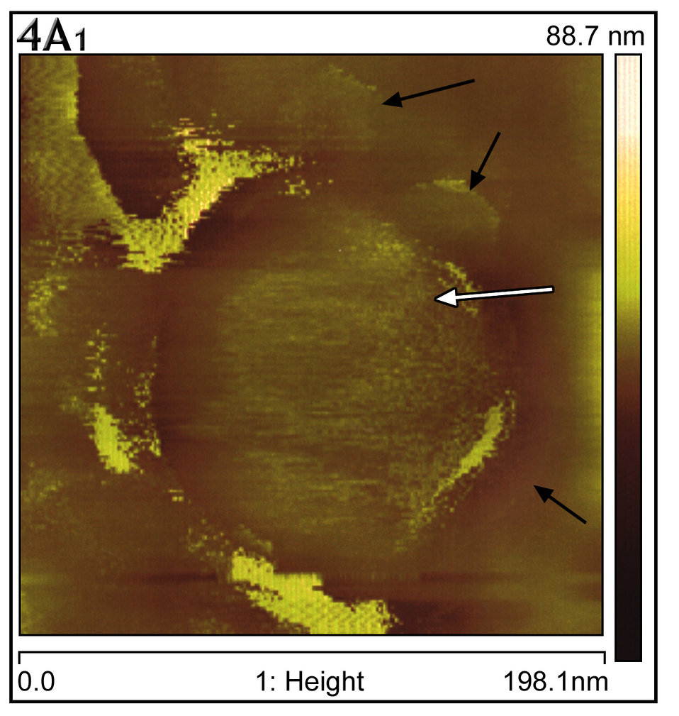 Atomic force microscopy captured the act of virus particle extrusion from a Vero E6 culture cell's surface 15hrs post-infection.