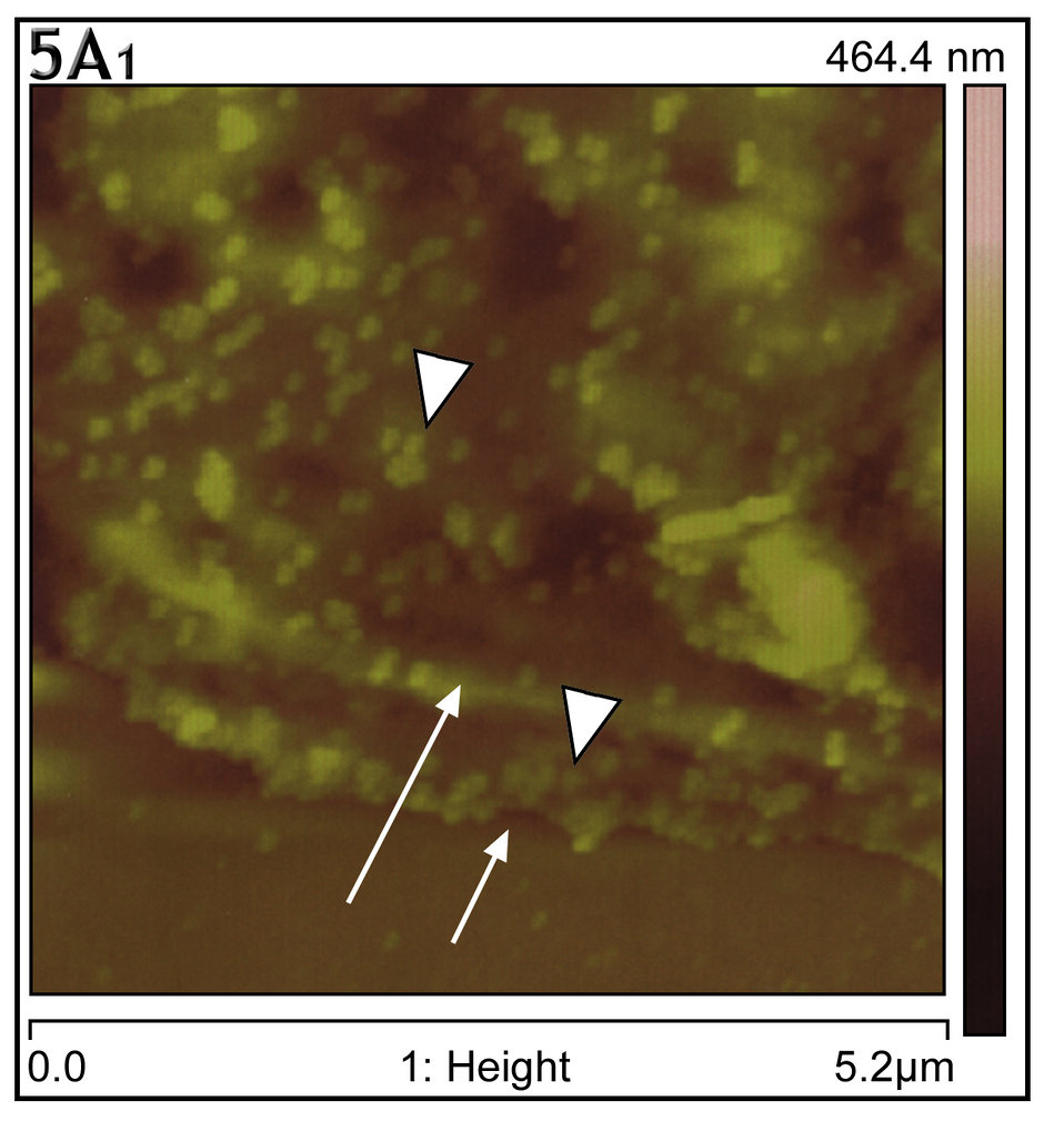 This atomic force microscopy image shows a thickened, layered configuration found at the edge of infected Vero E6 culture cells.
