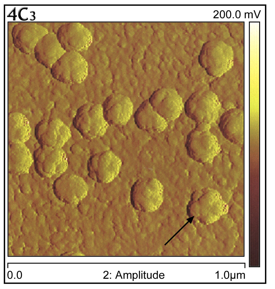 Using the NanoScope IV MultiMode� atomic force microscope, the 'knobby' virion surface structure was visualized (arrow).