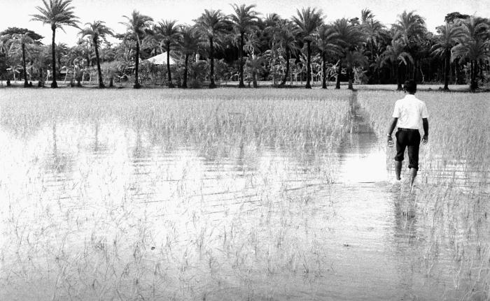 This photograph pictured a man walking through a rice field, as he carried a cache of smallpox immunization bifurcated needles and vaccine,