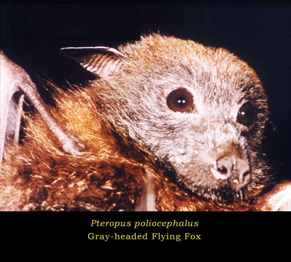 This image depicts the head of a 'Gray-headed Flying Fox', Pteropus poliocephalus.The gray-headed flying fox is a member of the order Chirop