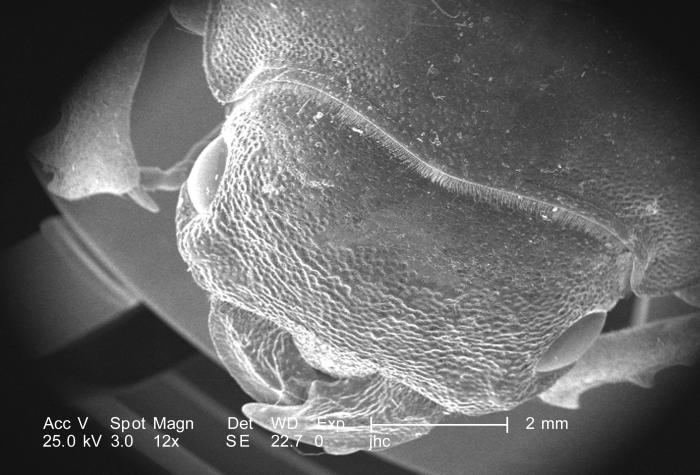 At a very low magnification of 12X, this scanning electron micrograph (SEM) focused on the head region of an adult 'figeater' beetle, Cotini