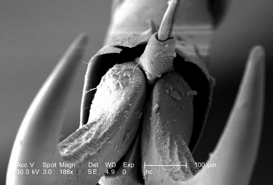 At a magnification of 188X, twice that of PHIL 9947, this scanning electron micrograph (SEM) depicted a head-on view of the distal clawed ti