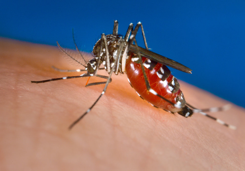This image depicts an Aedes albopictus female mosquito feeding on a human host.