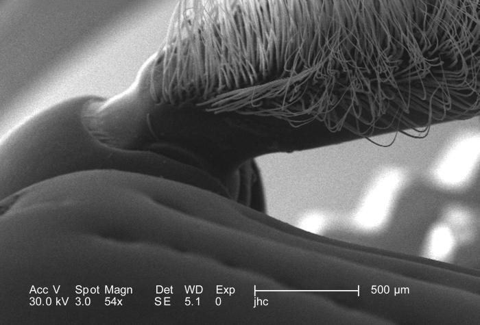 Under a magnification of only 54X, this scanning electron micrograph (SEM) depicted some of the exoskeletal morphologic characteristics disp