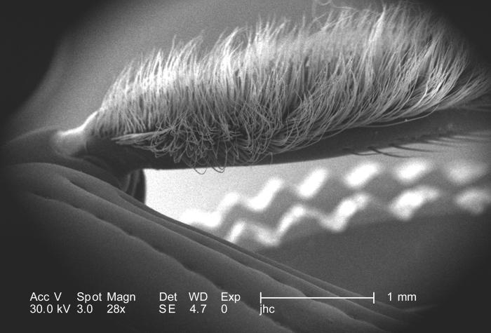 Under a magnification of only 28X, this scanning electron micrograph (SEM) depicted some of the exoskeletal morphologic characteristics disp