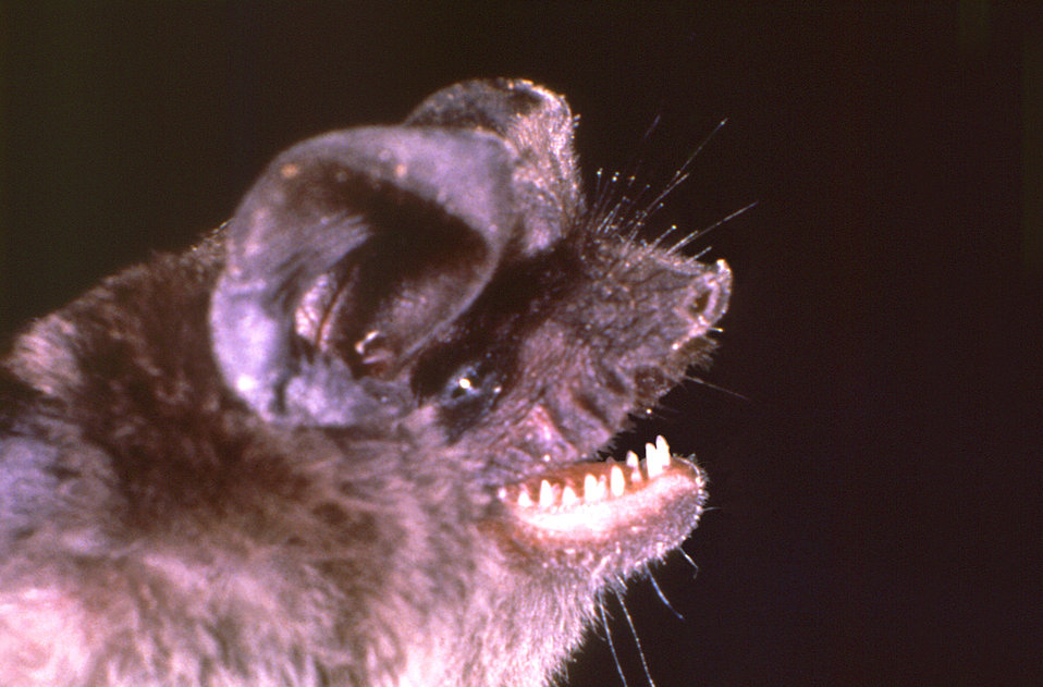 This monochromatic image depicts a right lateral (side) view of a Jamaican fruit bat's, Artibeus jamaicensis, head region.