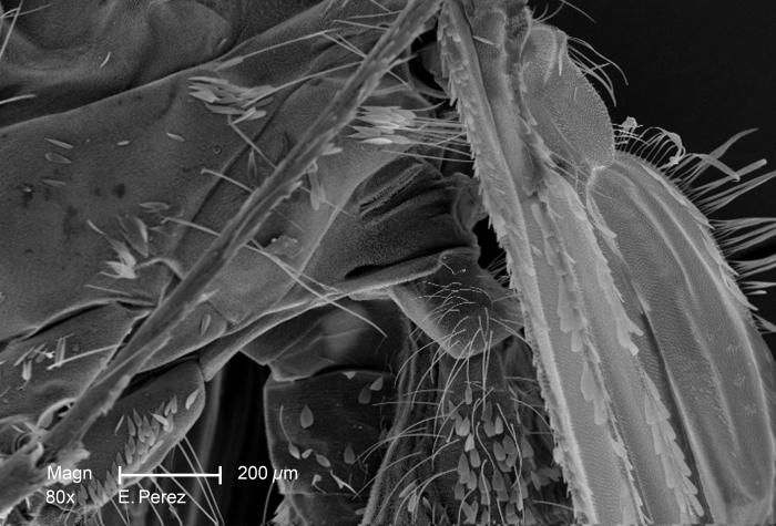 Under a slightly lower magnification than PHIL 10511, this scanning electron micrograph (SEM) revealed some of the minute exoskeletal detail