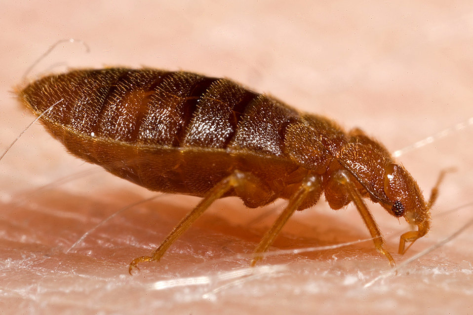 This 2006 photograph depicted a lateral view of an adult bedbug, Cimex lectularius, as it was in the process of ingesting a blood meal from