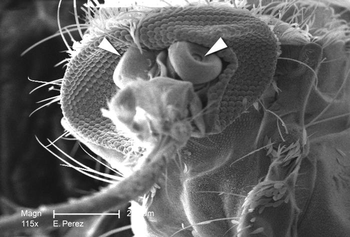 Under a relatively low magnification of 115X, this scanning electron micrograph (SEM) revealed some of the exoskeletal morphology on the sur