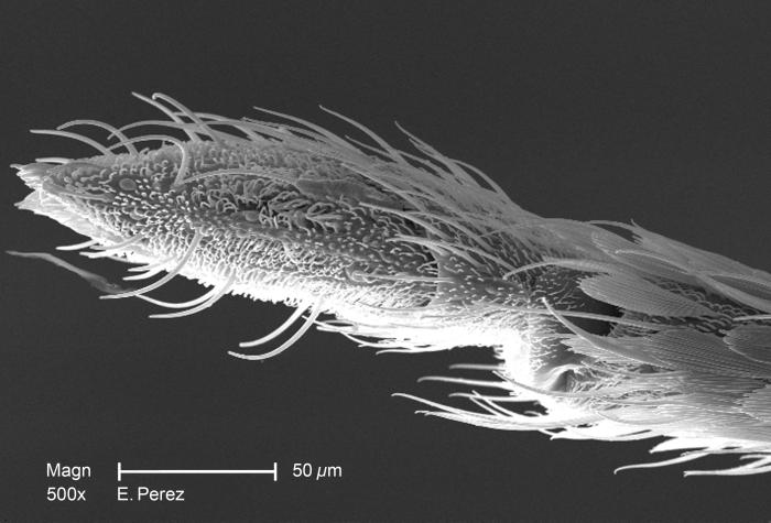 Magnified 500X, this scanning electron micrograph (SEM) revealed some of the minute exoskeletal details found at the proboscis tip of an uni
