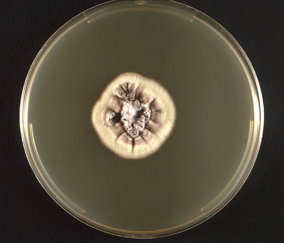 This photograph depicts the frontal view of a Petri dish within which a fungal colony of a Mexican isolate of Trichophyton rubrum var. rodai