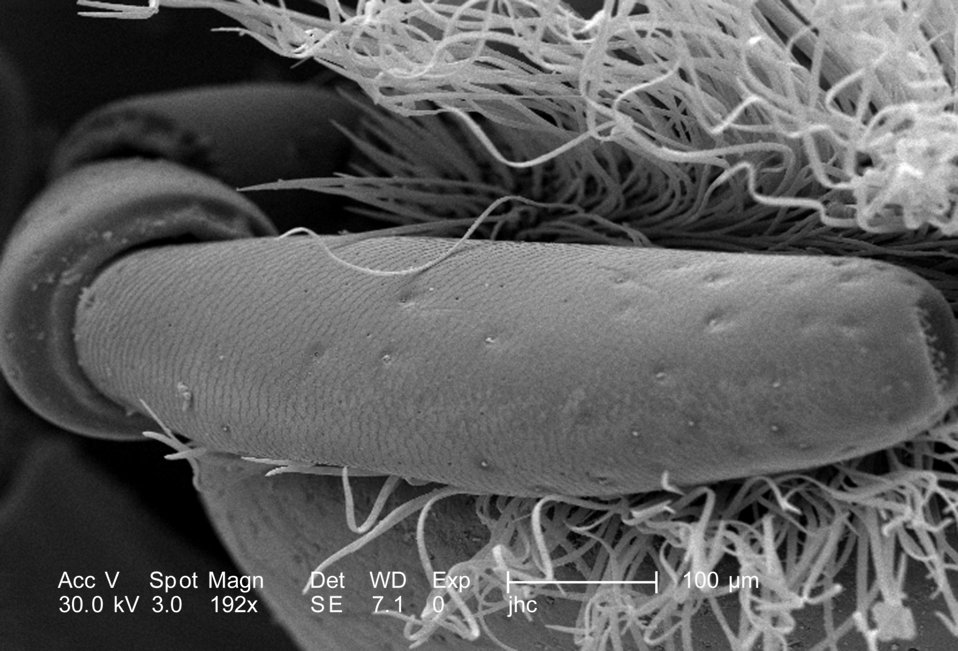 Magnified 192X, this scanning electron micrograph (SEM) revealed morphologic details found at the distal tip of this adult 'figeater' beetle