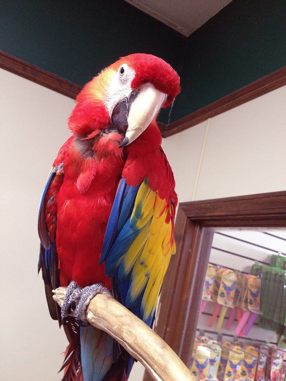 This image depicts a beautifully-colored adult parrot known as a Scarlet Macaw, or Aracanga, Ara macao, which can be found in its native hab