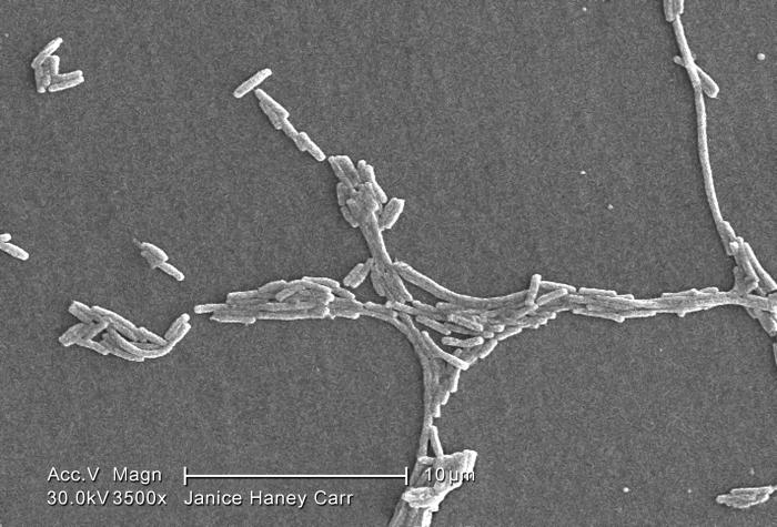 Under a moderate magnification of 3500X, this scanning electron micrograph (SEM) depicted a number of Gram-negative Legionella pneumophila b