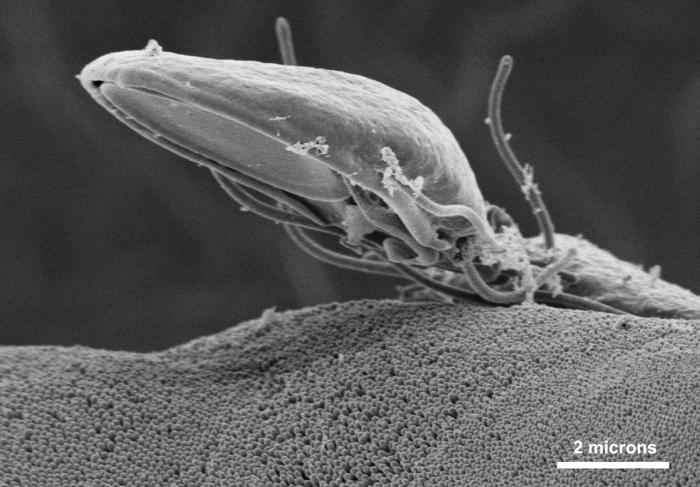 This scanning electron micrograph (SEM) depicted a Giardia specie intestinal protozoan on the microvillous border of intestinal epithelial c