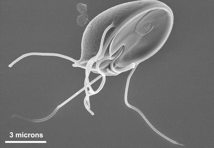 This scanning electron micrograph (SEM) clearly showed the ventral surface of a Giardia muris trophozoite.  The ventral adhesive disk resemb