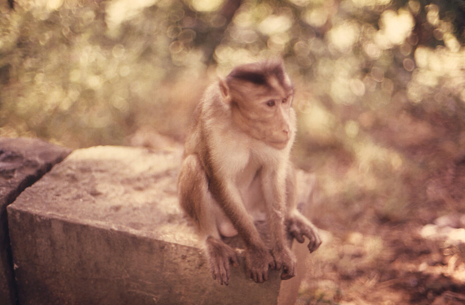 The rhesus monkey, Macaca mulatta,  photographed here was perched atop a rock wall somewhere in northern India during a 1974 trip made by Ce