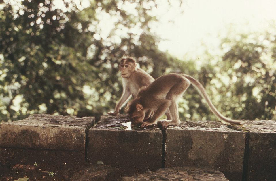 Theses two rhesus monkeys, Macaca mulatta, photographed here were perched atop a rock wall somewhere in northern India during a 1974 trip ma