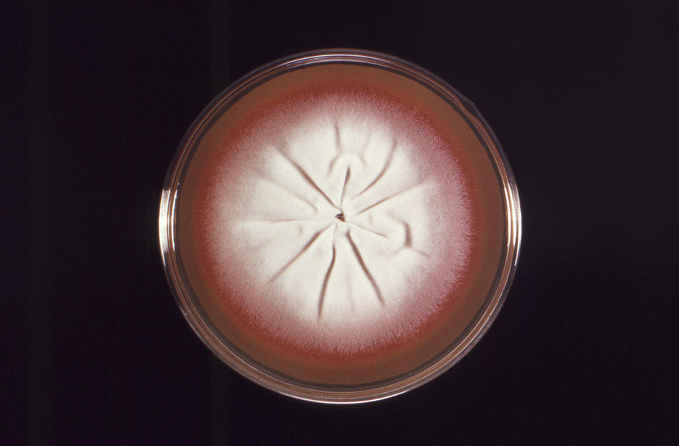 Viewed from the front, this Petri dish culture containing Sabouraud dextrose agar, had grown a single, large colony of the dermatophytic fun