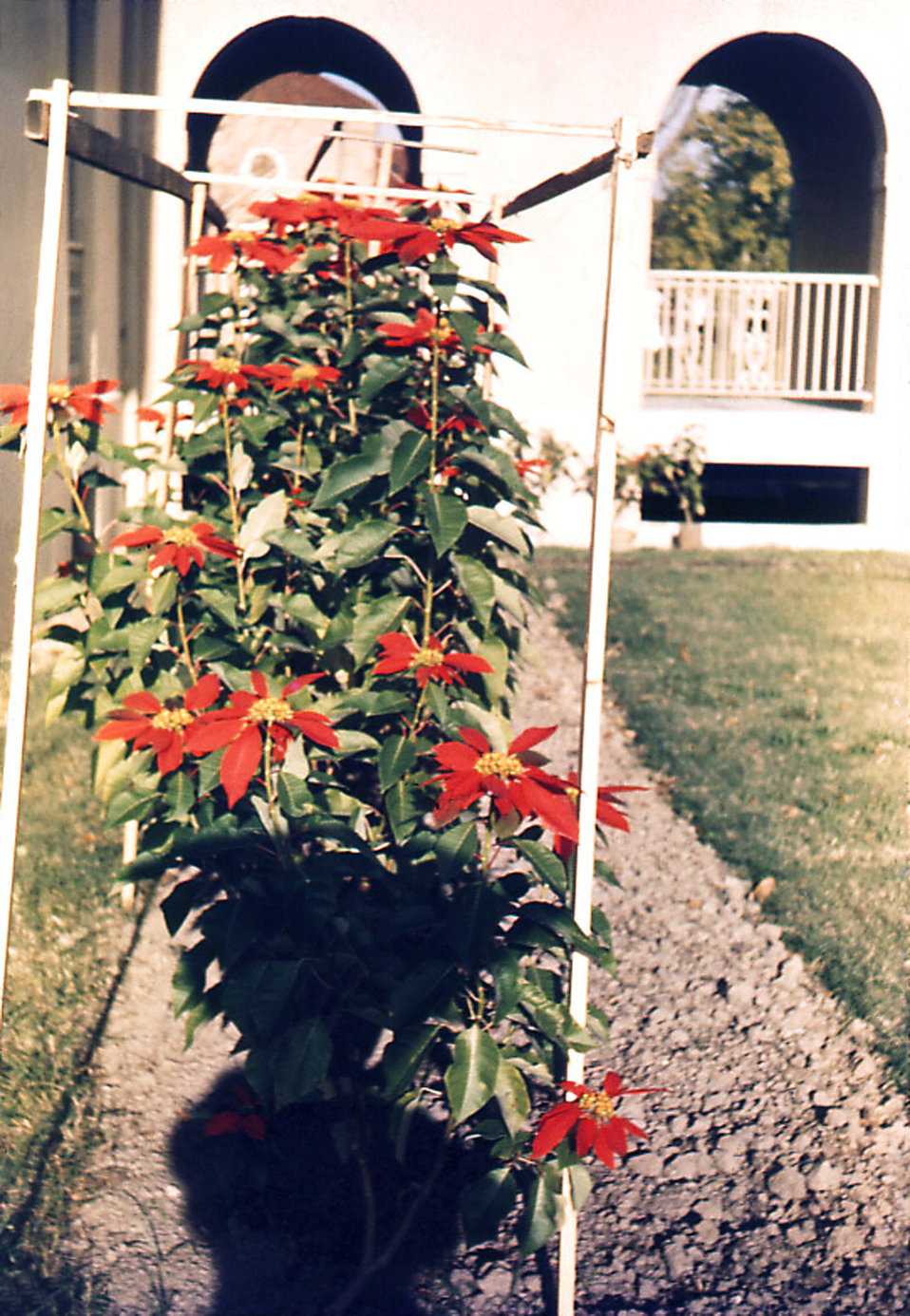 This historic image depicted a beautiful garden on the grounds of the Carville, Louisiana Leprosarium. A number of patients were wonderful g