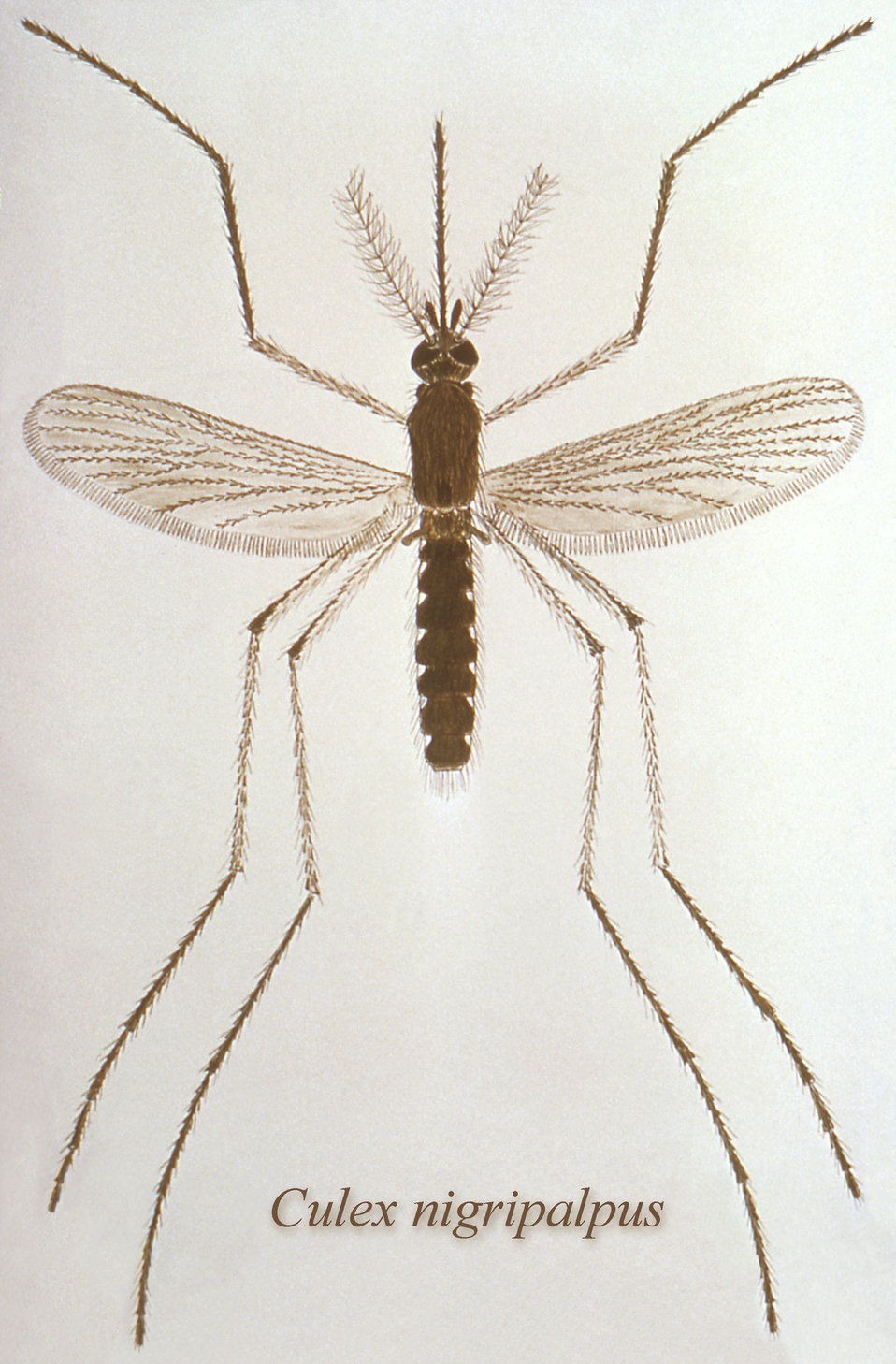 This illustration depicts a dorsal view of a Culex nigripalpus mosquito.