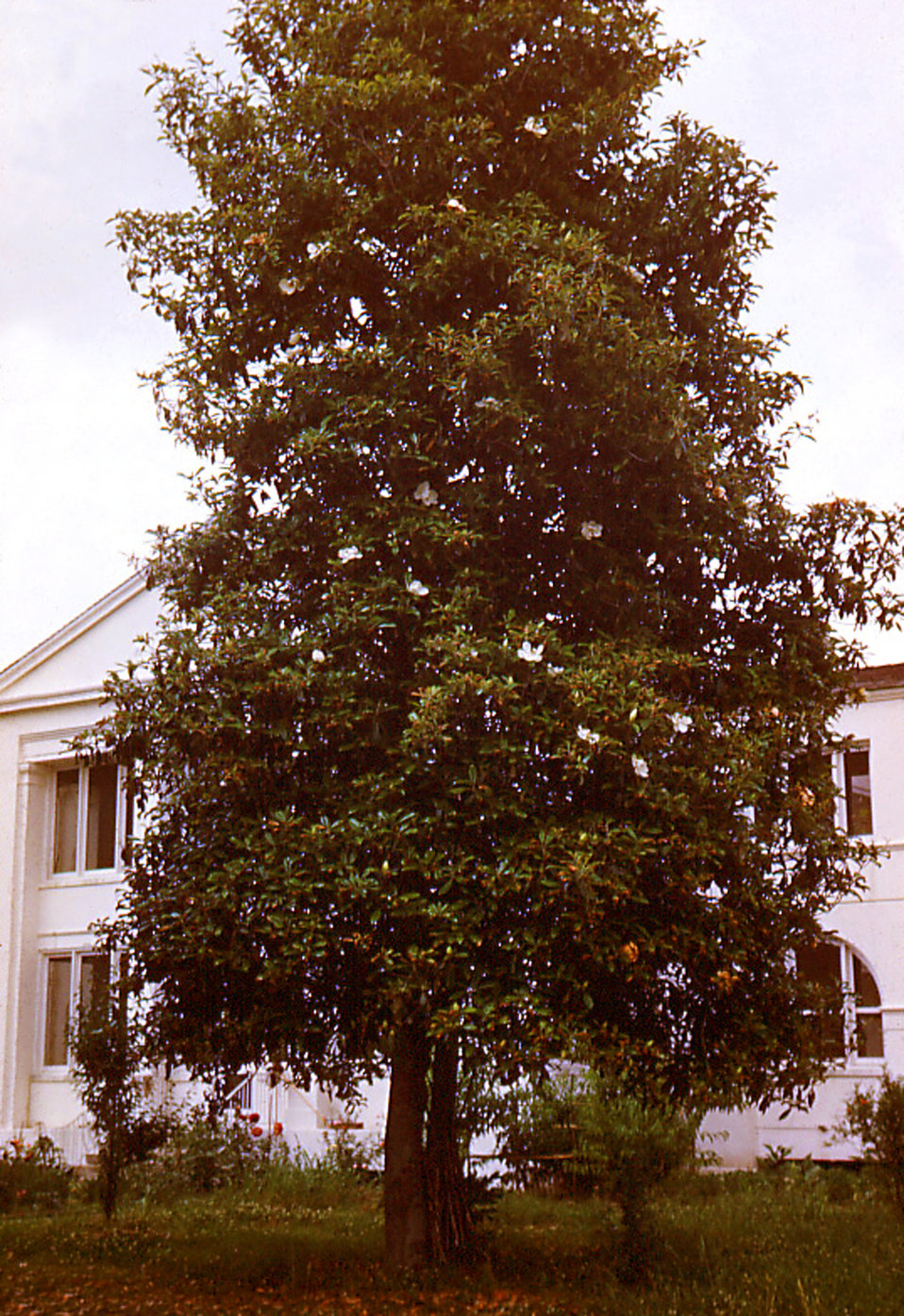 This historic image depicted one of the tall Magnolia trees that had been growing on the grounds of the Carville, Louisiana Leprosarium. The
