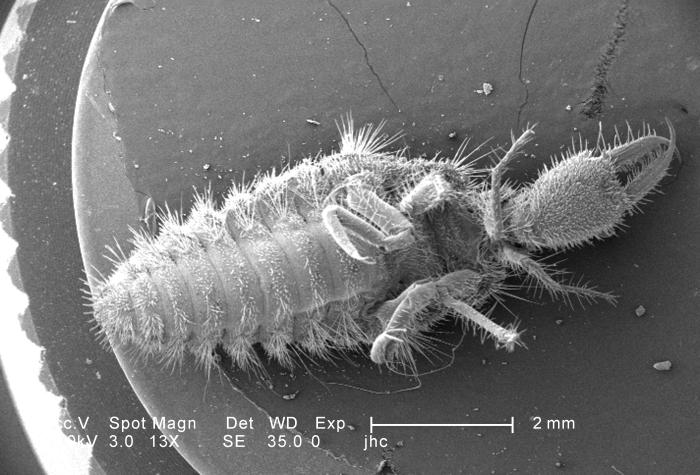 Under a very low magnification of 13X, this scanning electron micrograph (SEM) depicted the entire ventral surface of a larval-staged antlio