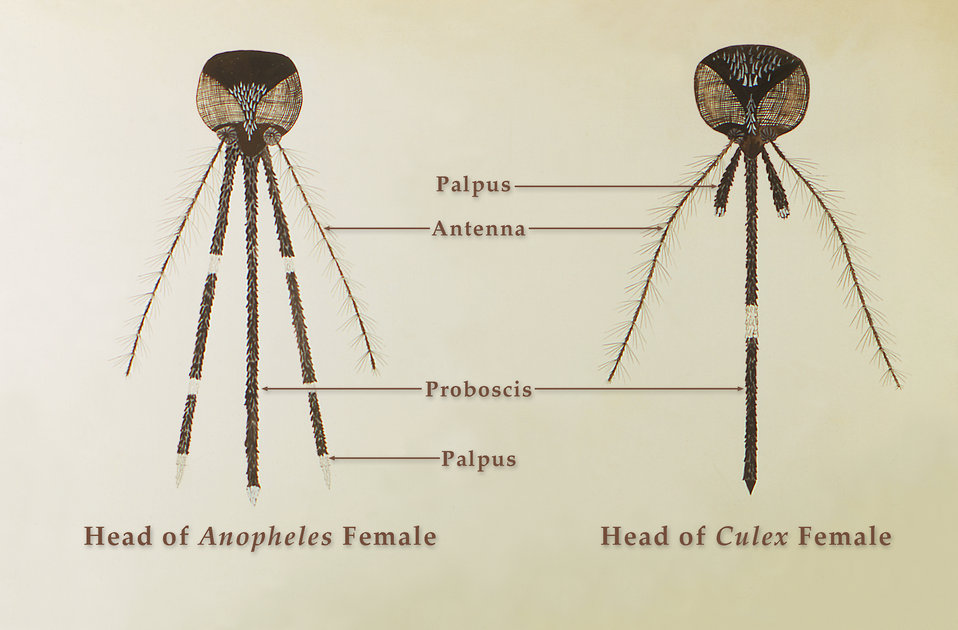 This illustration reveals the morphologic differences between an Anopheles specie female mosquito and that of a female Culex specie.  The An
