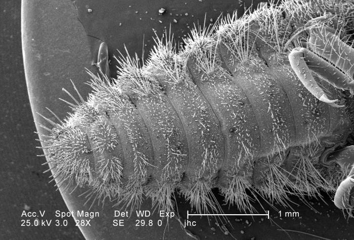 Under a very low magnification of 28X, approximately twice that of PHIL 11793, this scanning electron micrograph (SEM) depicted the ventral
