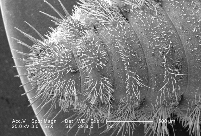 Under a low magnification of 57X, approximately twice that of PHIL 11794, this scanning electron micrograph (SEM) depicted the ventral abdom