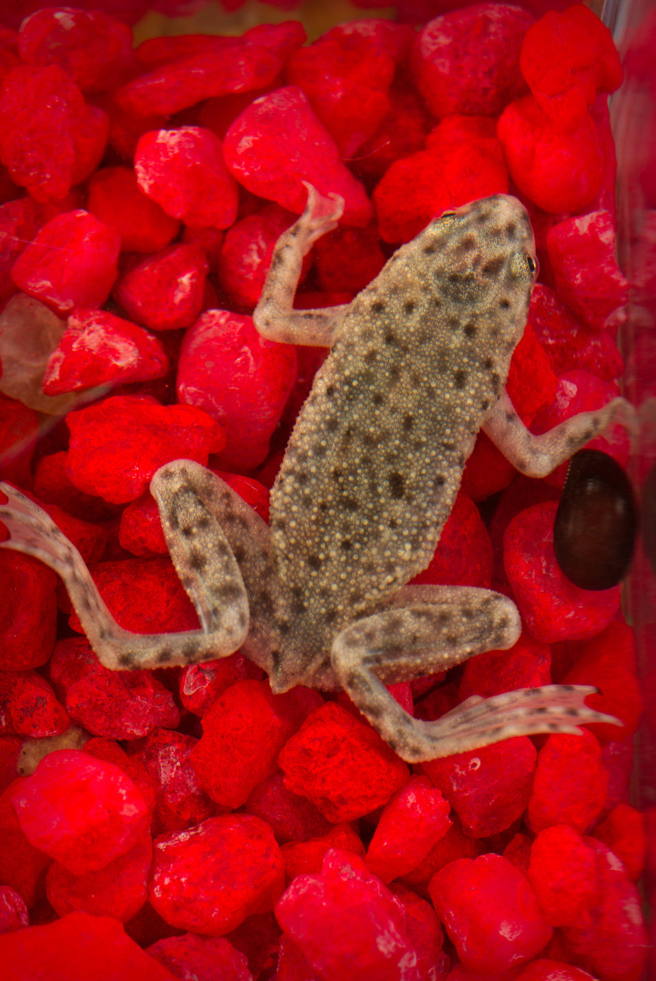 This photograph depicts an African dwarf frog, Hymenochirus boettgeri.
