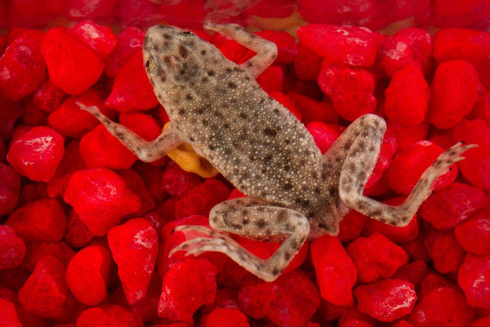 This photograph depicts an African dwarf frog, Hymenochirus boettgeri.