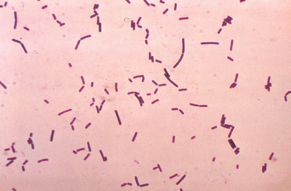Bacillus brevis.  Gram stain.
