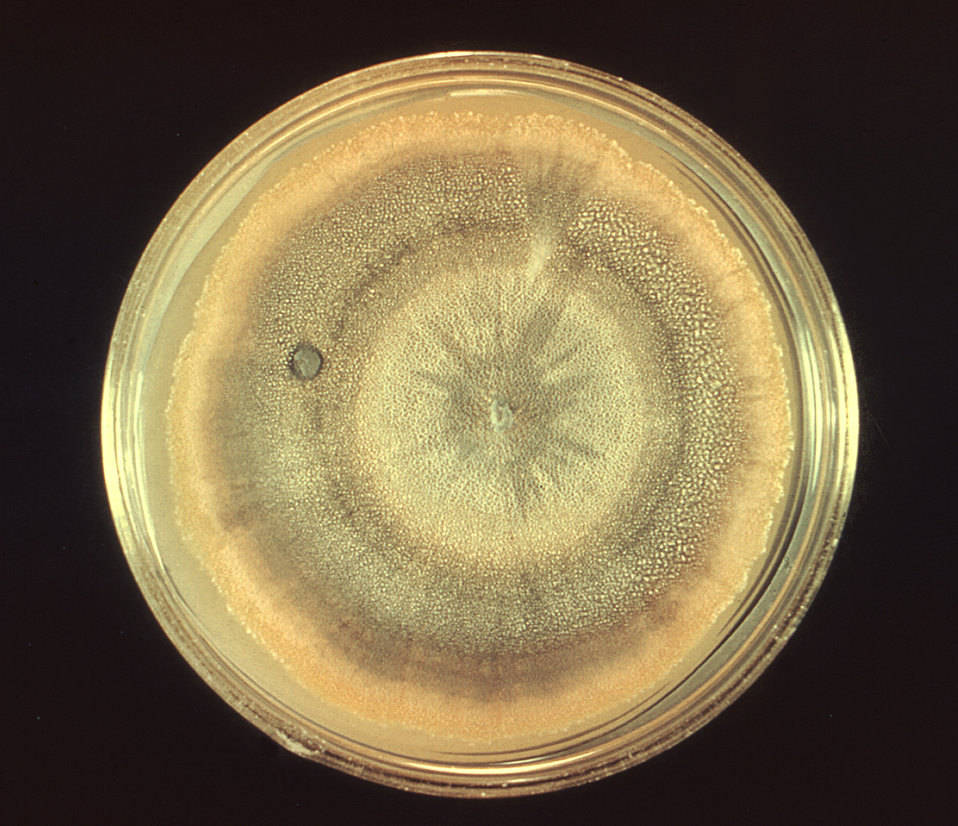 This photograph depicts a frontal view of a Petri dish culture containing Sabouraud Dextrose agar, upon which a colony of Penicillium multic