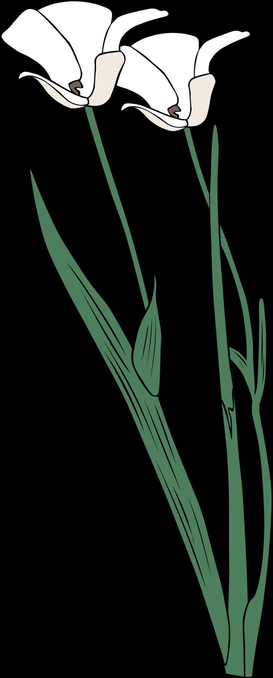 calochortus apiculatus
