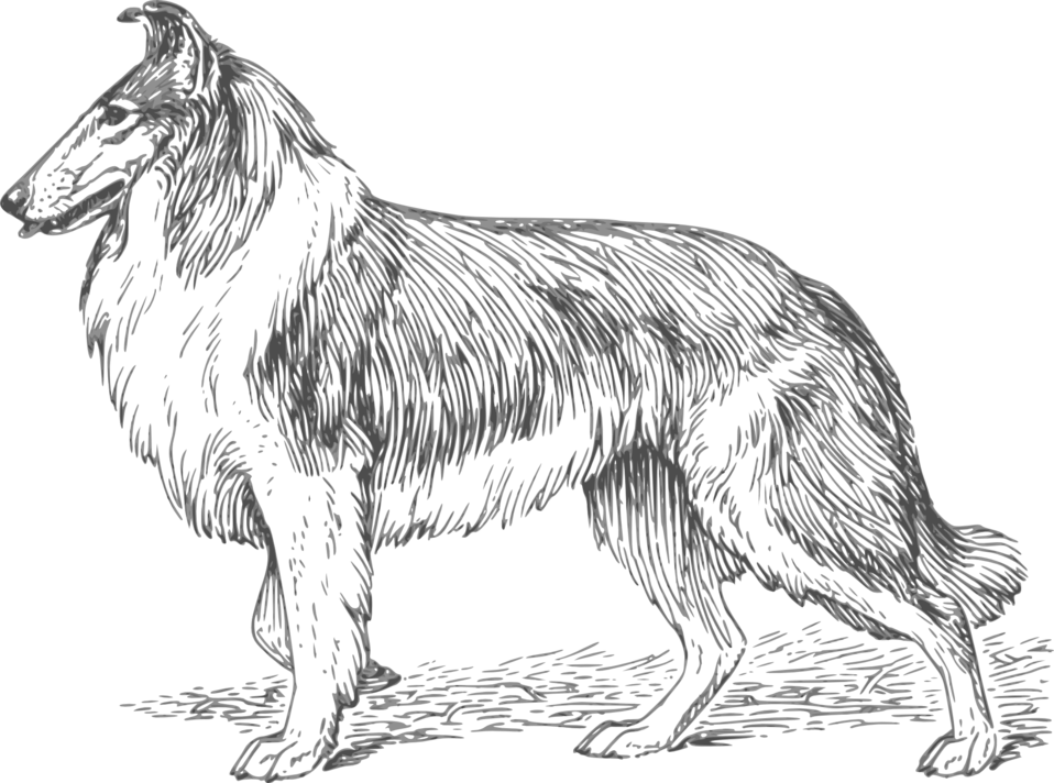 collie 2 grayscale