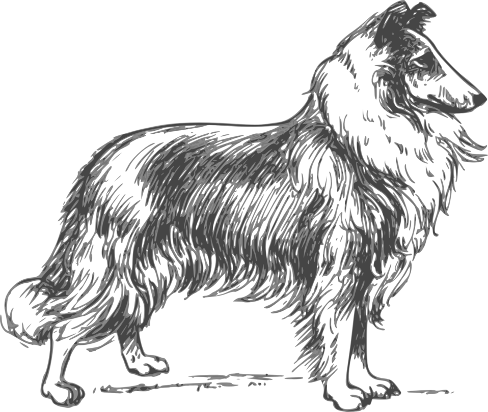 collie grayscale