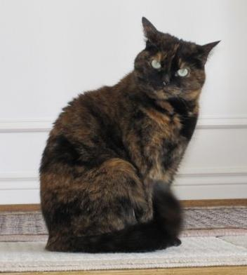 A 6-year old tortoise shell cat.