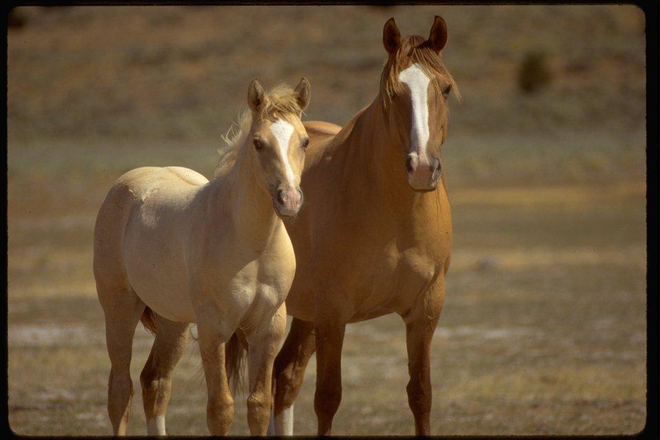 Palomino Buttes Wild Horses on the range, west of Burns, Oregon.