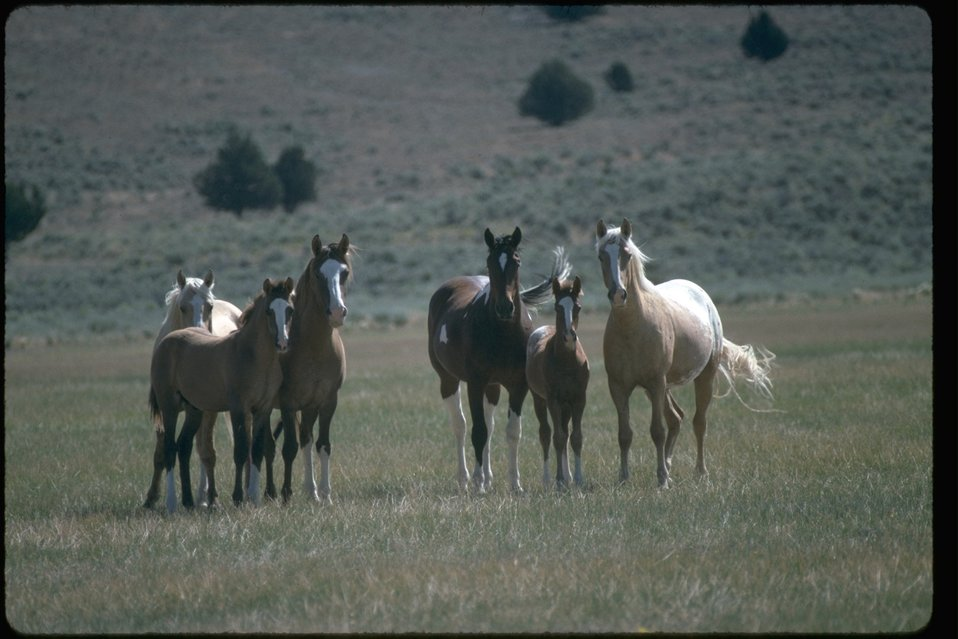 Palomino Buttes HMA Wild Horses on the range.  West of Burns in Southeastern Oregon.