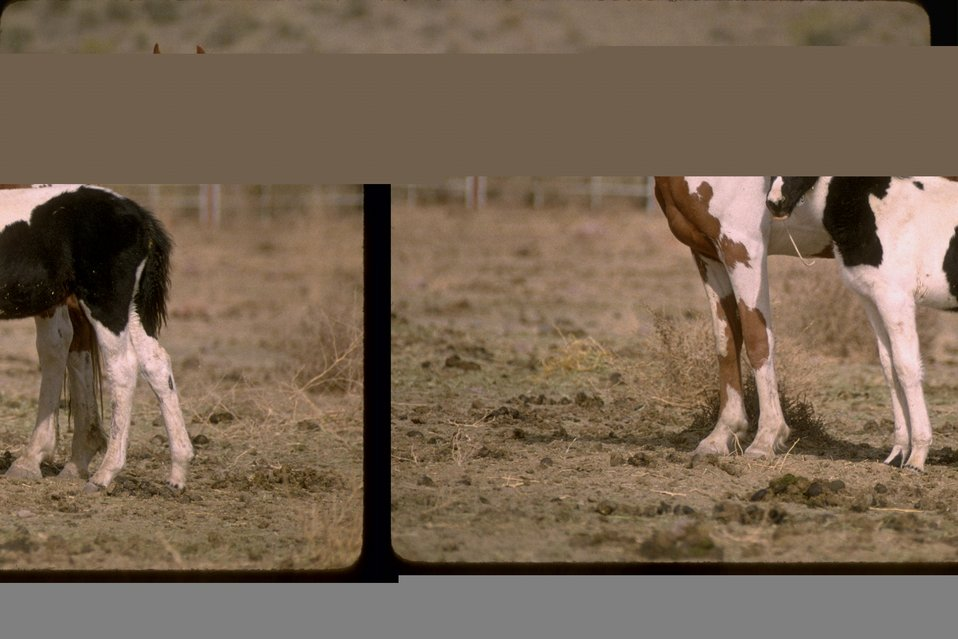South Steens wild horses are awaiting adoption.  Burns District in Southeastern Oregon.